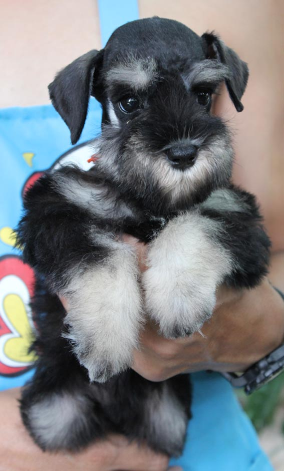 ลูกสุนัขมิเนเจอร์ ชเนาเซอร์ เพศเมีย สี Salt and Pepper or Black and Silver เชือกคอสีส้ม