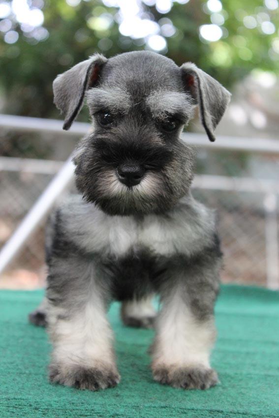 ลูกสุนัขมิเนเจอร์ ชเนาเซอร์ เพศเมีย สี Salt and Pepper เชือกคอสีเขียวสะท้อนแสง