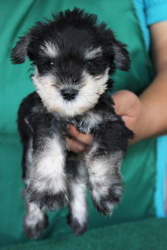 ลูกสุนัขมิเนเจอร์ ชเนาเซอร์ เพศผู้ สี Black and Silver เชือกคอสีม่วง