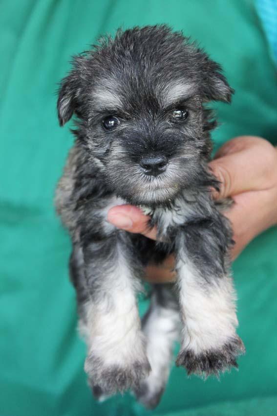 ลูกสุนัขมิเนเจอร์ ชเนาเซอร์ เพศผู้ สี่ Salt and Pepper เชือกคอสีฟ้า