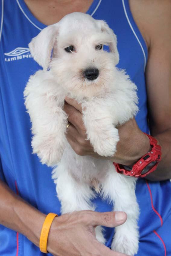 ลูกสุนัขมิเนเจอร์ ชเนาเซอร์ เพศเมีย สีขาว เชือกคอสีแดง