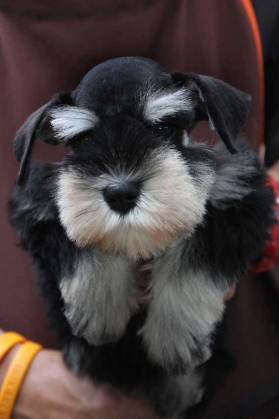 ซานต้า แม่พันธ์สุนัขมิเนเจอร์ ชเนาเซอร์ สี Black and Silver