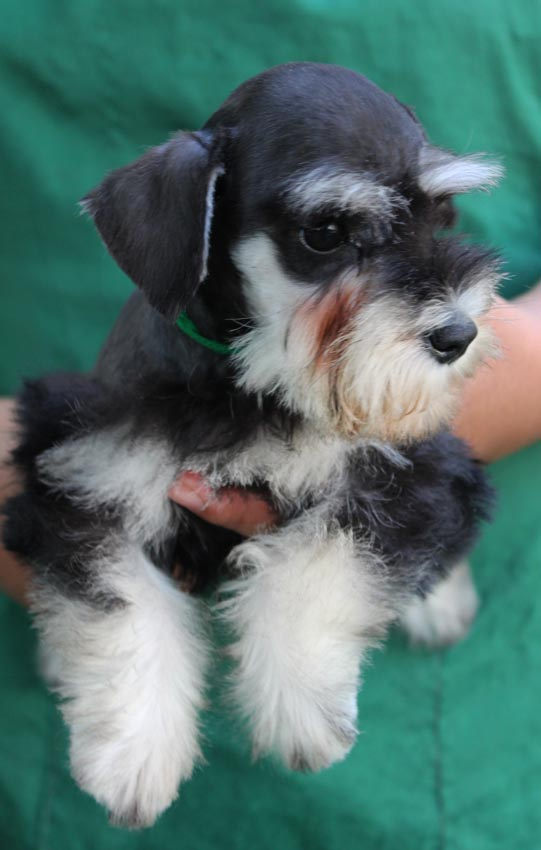 ใบตอง  สุนัขมิเนเจอร์ ชเนาเซอร์ สี Black and Silver 1