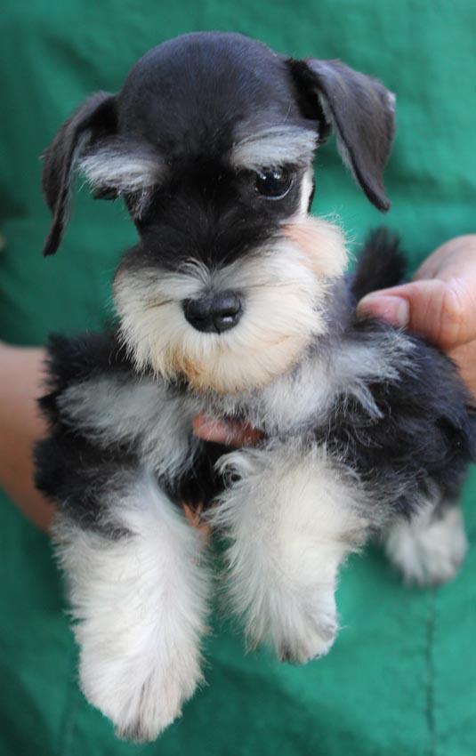ใบตอง  สุนัขมิเนเจอร์ ชเนาเซอร์ สี Black and Silver 2