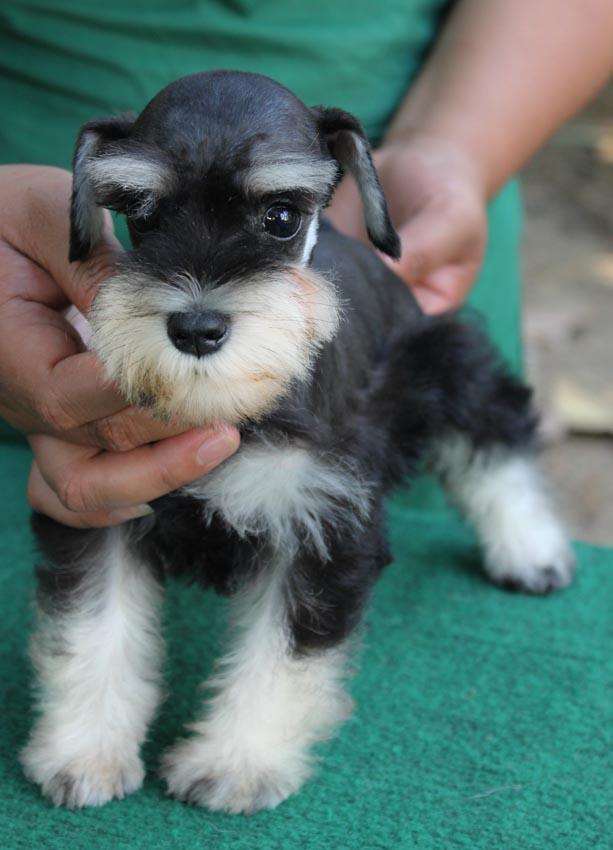 ใบตอง  สุนัขมิเนเจอร์ ชเนาเซอร์ สี Black and Silver