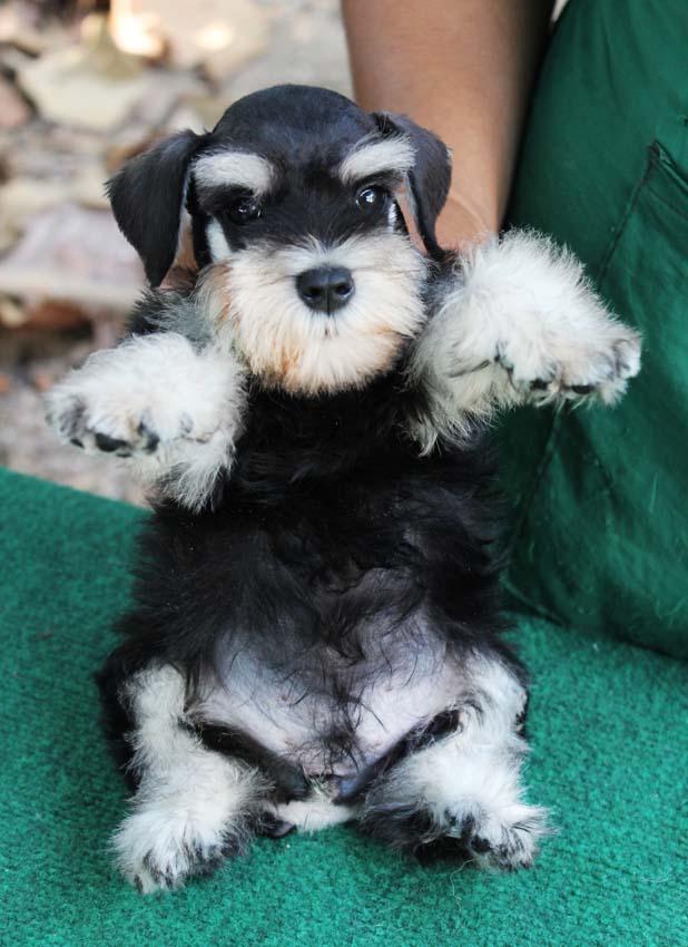 ใบตอง  สุนัขมิเนเจอร์ ชเนาเซอร์ สี Black and Silver 7