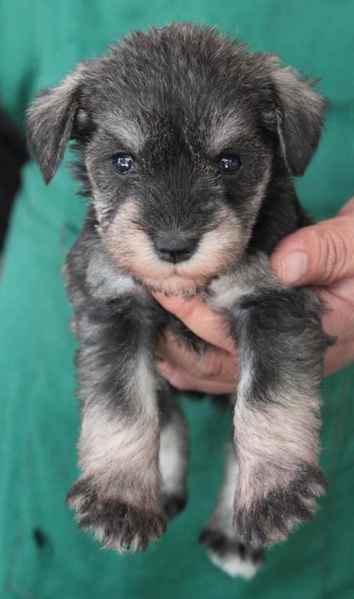 เจเล่  (ตอนเด็ก) สุนัขมิเนเจอร์ ชเนาเซอร์ เพศเมีย สี Salt and Pepper 7