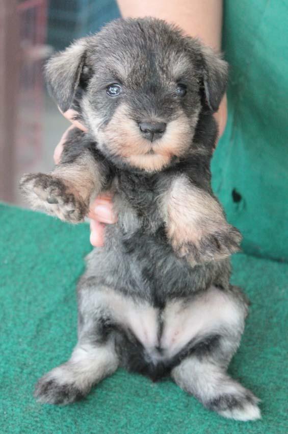 เจเล่  (ตอนเด็ก) สุนัขมิเนเจอร์ ชเนาเซอร์ เพศเมีย สี Salt and Pepper 8