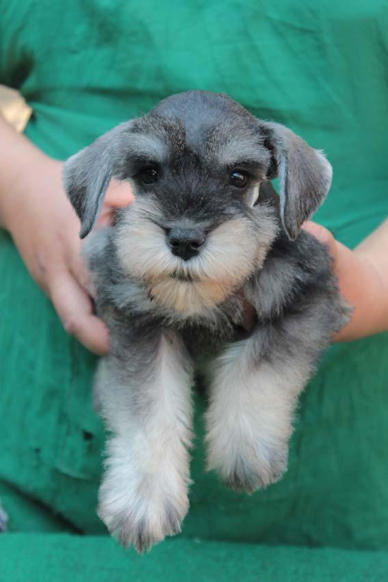 เจเล่  (ตอนเด็ก) สุนัขมิเนเจอร์ ชเนาเซอร์ เพศเมีย สี Salt and Pepper