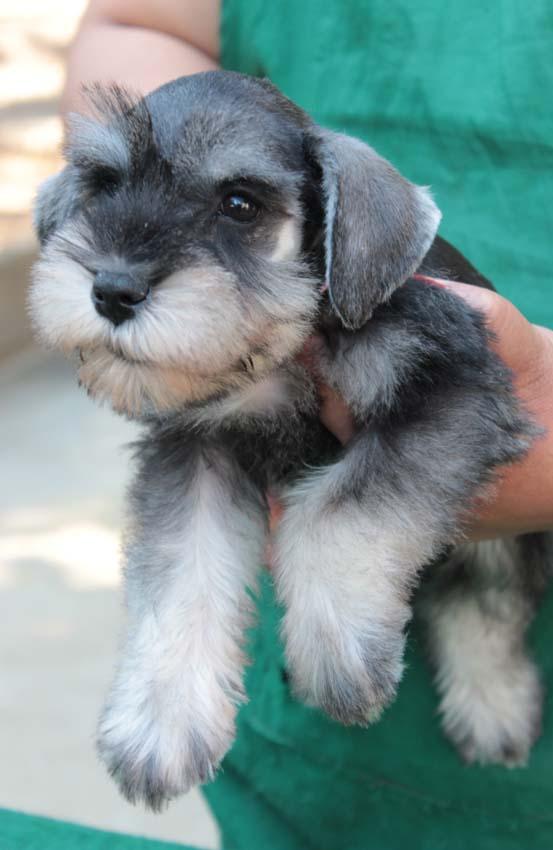 เจเล่  (ตอนเด็ก) สุนัขมิเนเจอร์ ชเนาเซอร์ เพศเมีย สี Salt and Pepper 1