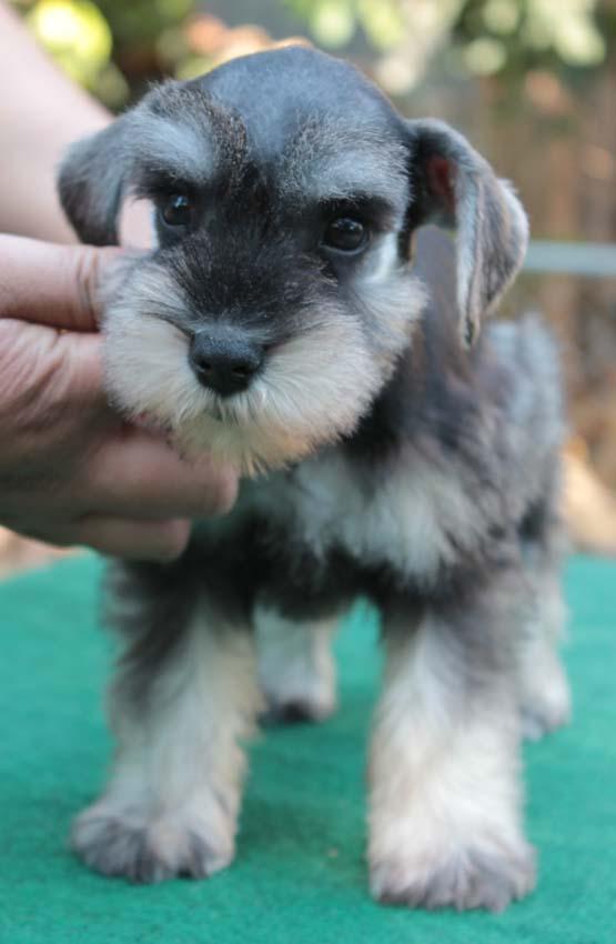 เจเล่  (ตอนเด็ก) สุนัขมิเนเจอร์ ชเนาเซอร์ เพศเมีย สี Salt and Pepper 5