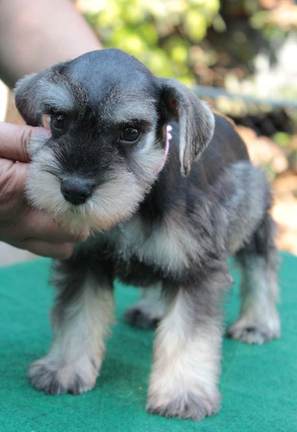 เจเล่  (ตอนเด็ก) สุนัขมิเนเจอร์ ชเนาเซอร์ เพศเมีย สี Salt and Pepper 6