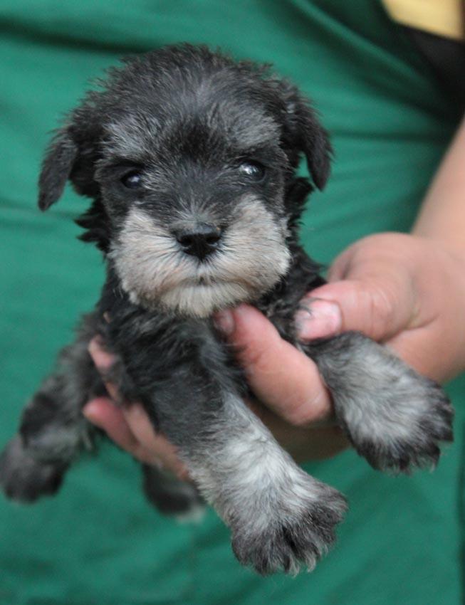 ลูกสุนัขมิเนเจอร์ ชเนาเซอร์ เพศเมีย สี Salt and Pepper  เชือกคอสีเขียว 7