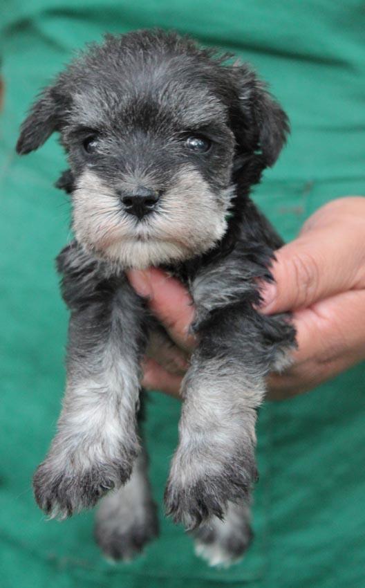 ลูกสุนัขมิเนเจอร์ ชเนาเซอร์ เพศเมีย สี Salt and Pepper  เชือกคอสีเขียว 8