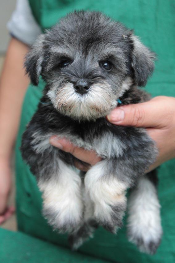 ลูกสุนัขมิเนเจอร์ ชเนาเซอร์ เพศเมีย สี Salt and Pepper  เชือกคอสีฟ้า 6