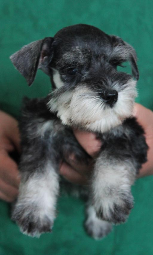 ลูกสุนัขมิเนเจอร์ ชเนาเซอร์ เพศเมีย สี Salt and Pepper  เชือกคอสีเขียว