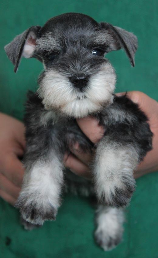 ลูกสุนัขมิเนเจอร์ ชเนาเซอร์ เพศเมีย สี Salt and Pepper  เชือกคอสีเขียว 1