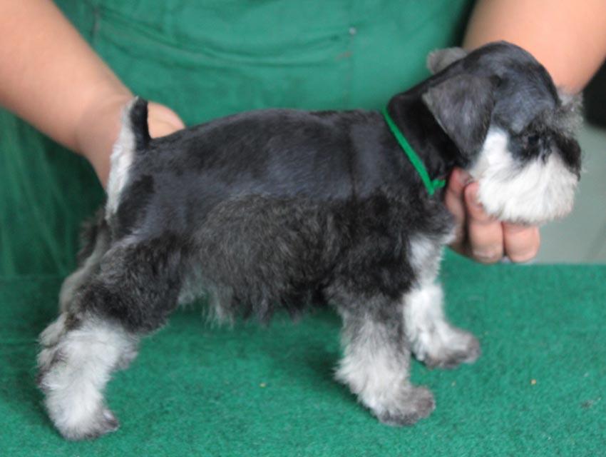 ลูกสุนัขมิเนเจอร์ ชเนาเซอร์ เพศเมีย สี Salt and Pepper  เชือกคอสีเขียว 4