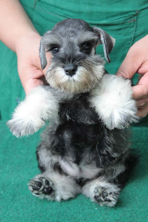 ลูกสุนัขมิเนเจอร์ ชเนาเซอร์ เพศเมีย สี Salt and Pepper  เชือกคอสีฟ้า 1