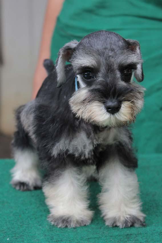 ลูกสุนัขมิเนเจอร์ ชเนาเซอร์ เพศเมีย สี Salt and Pepper  เชือกคอสีฟ้า 5