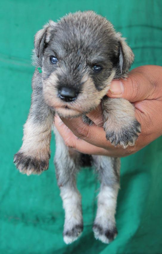 ลูกสุนัขมิเนเจอร์ ชเนาเซอร์ เพศเมีย  สี Salt  Pepper เชืิอกคอเขียว 4