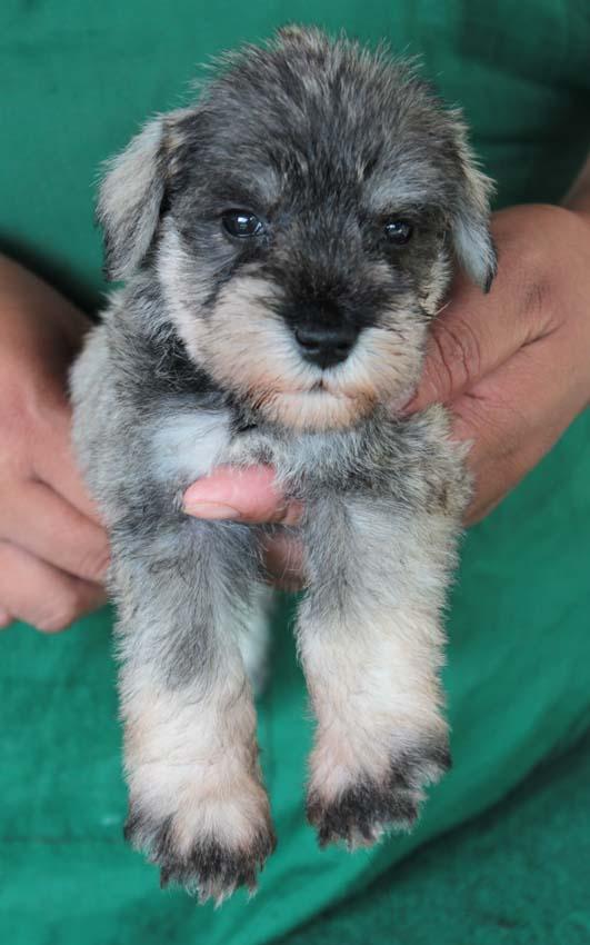 ลูกสุนัขมิเนเจอร์ ชเนาเซอร์ เพศเมีย  สี Salt  Pepper เชืิอกคอเขียว
