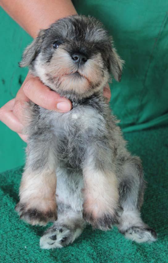 ลูกสุนัขมิเนเจอร์ ชเนาเซอร์ เพศเมีย  สี Salt  Pepper เชืิอกคอเขียว 1