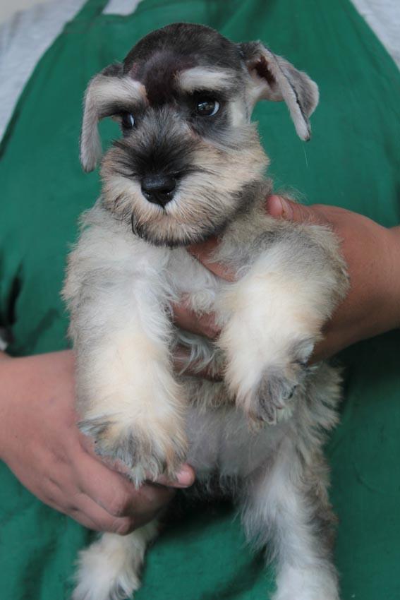 ลูกสุนัขมิเนเจอร์ ชเนาเซอร์ เพศเมีย  สี Salt  Pepper เชือกคอเขียวสะท้อนแสง 2