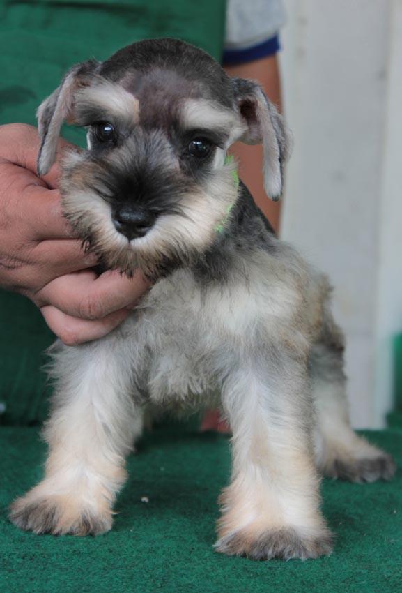 ลูกสุนัขมิเนเจอร์ ชเนาเซอร์ เพศเมีย  สี Salt  Pepper เชือกคอเขียวสะท้อนแสง