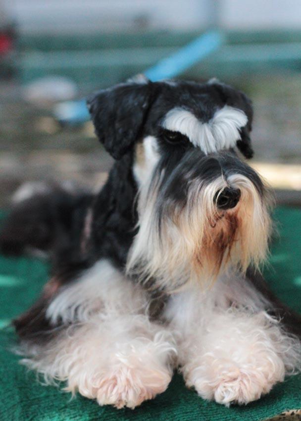 ชิโน สุนัขมิเนเจอร์ ชเนาเซอร์ สี Black and Silver