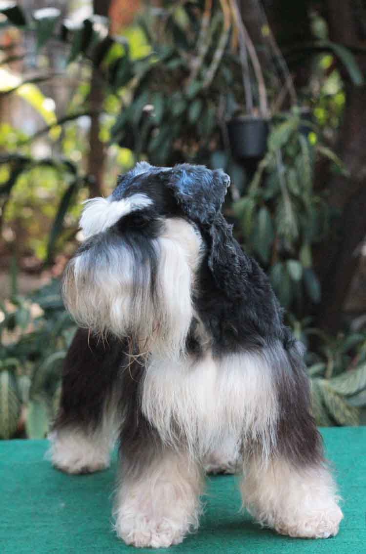 ชิโน สุนัขมิเนเจอร์ ชเนาเซอร์ สี Black and Silver 1