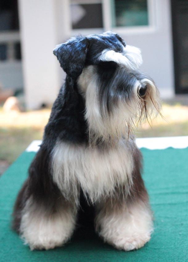 ชิโน สุนัขมิเนเจอร์ ชเนาเซอร์ สี Black and Silver 2