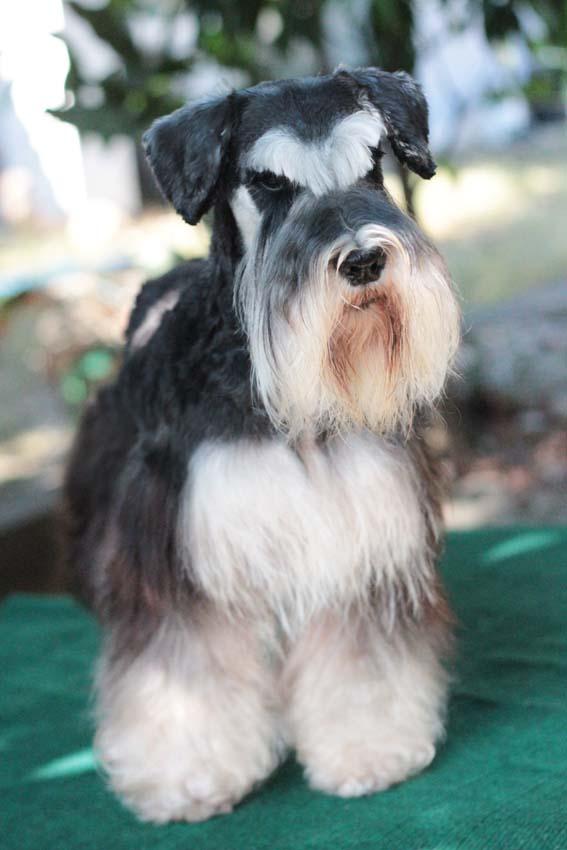 ชิโน สุนัขมิเนเจอร์ ชเนาเซอร์ สี Black and Silver 3