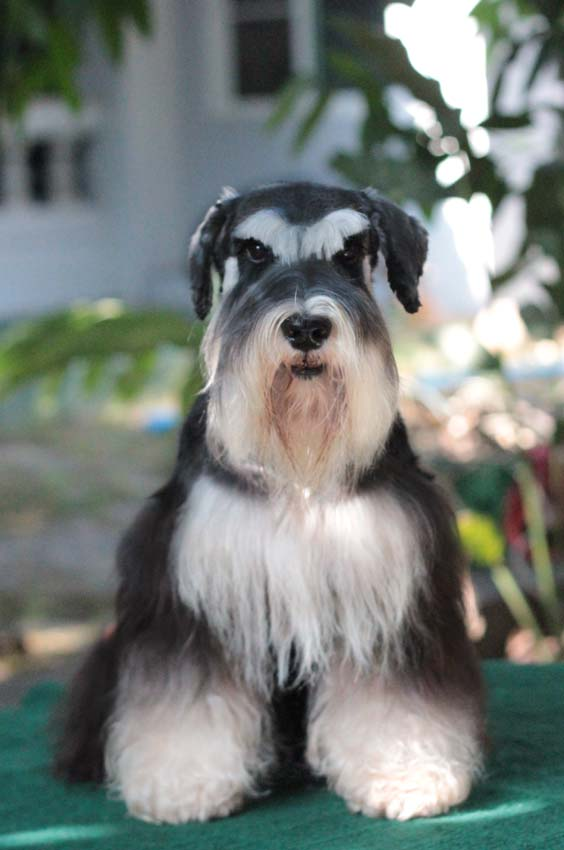 ชิโน สุนัขมิเนเจอร์ ชเนาเซอร์ สี Black and Silver 4