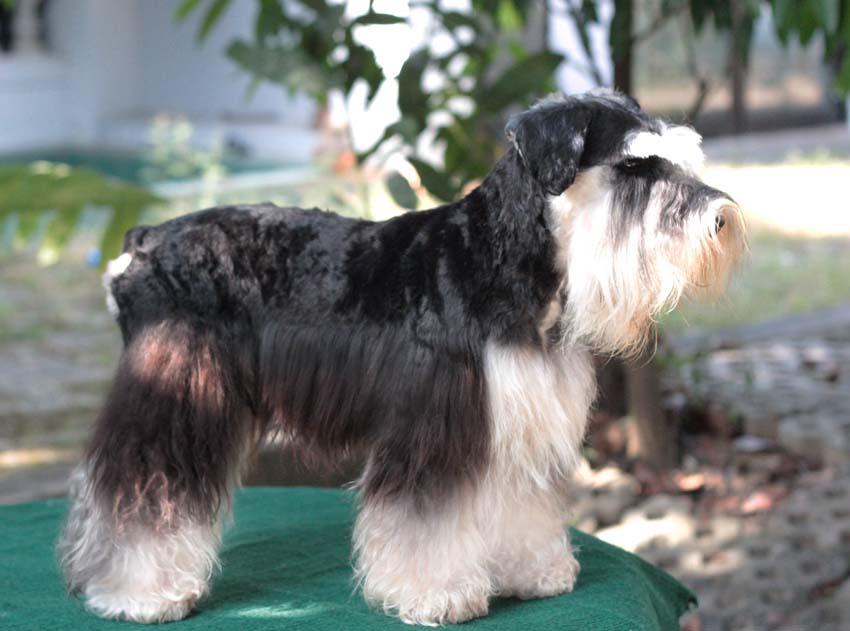 ชิโน สุนัขมิเนเจอร์ ชเนาเซอร์ สี Black and Silver 5
