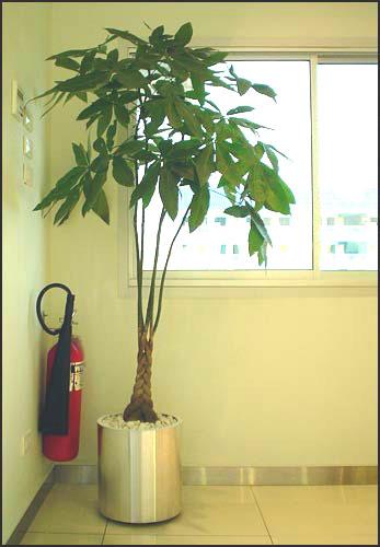เช่าต้นไม้ ต้นไม้เช่า ต้นไม้ให้เช่า 3
