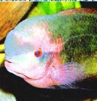 ซ็อกโกแล็ต (Cichlasoma Temporalis)