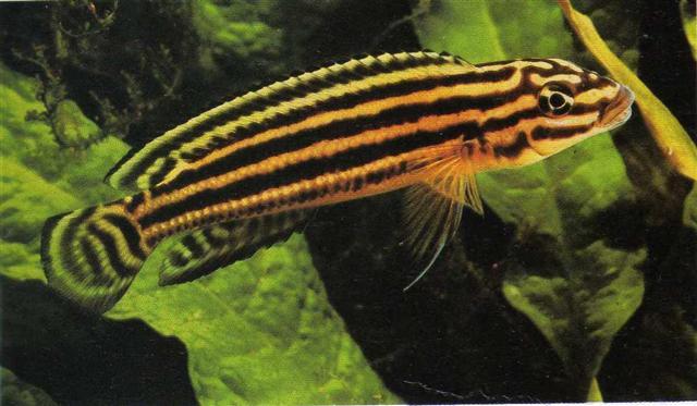 รีกานี่ (Julidochromis Regani)
