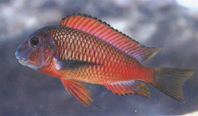 มูริไอ โมเลโล่ Tropheus Moorii (Moliro)