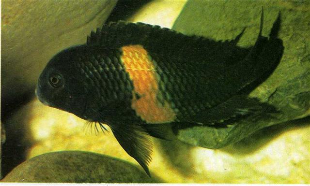 มูริไอ คาดส้ม Tropheus Moorii (Bemba,Orange band)