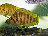 คอมเพรส Yellow (Altolamprologus Compressiceps)