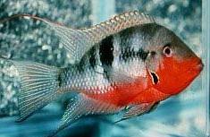 ไฟร์ เมาท์ (Thorichthys meeki)