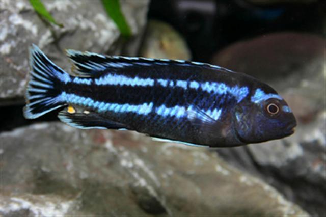 อีสเทิร์นบลู (Melanochromis Johannii)