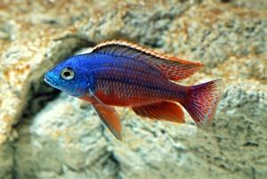 ซูลู (Protomelas taeniolatus)