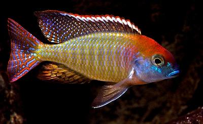 เลทรินอป Lethrinops sp. Red Cap