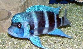 ฟรอนโตซ่า บลูเอ็ม(Cyphotilapia Frontosa -blue M)