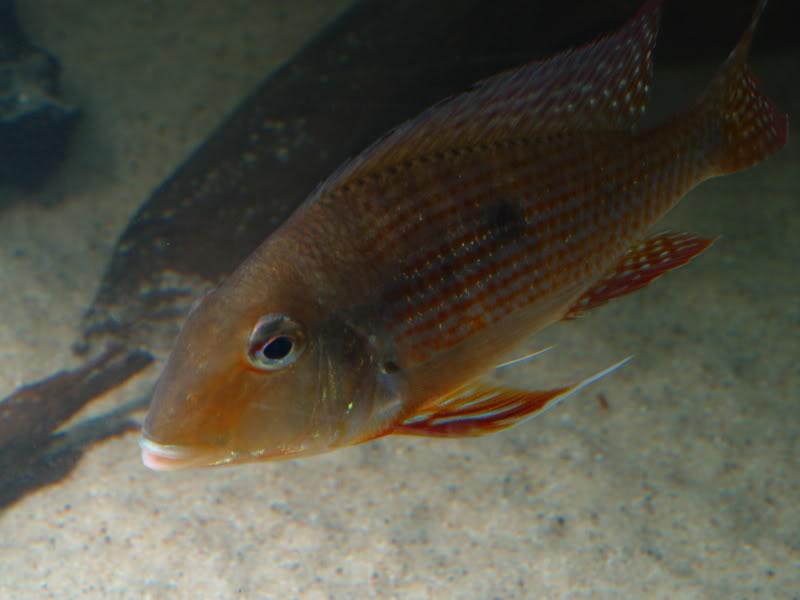 ไมคูรู Geophagus sp. Maicuru