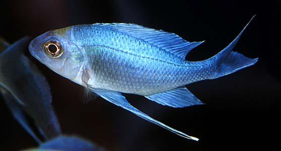 เวนทราลิส บลู (Ophthalmotilapia ventralis)ปลานอกขนาดกำลังสวย