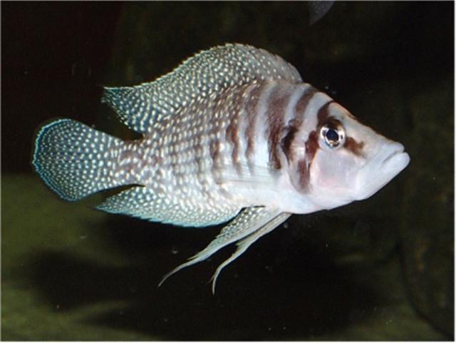 คาวาสไวท์ Altolamprologus calvus