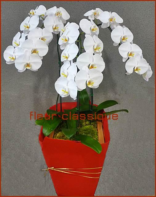 ต้นกล้วยไม้ฟาแลนอปซิสสีขาว 3 ต้น (phalandopsis)